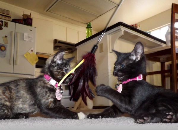 Arya and Sansa love feather toys! Both are up for adoption now.