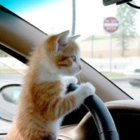 CatsDriving-1