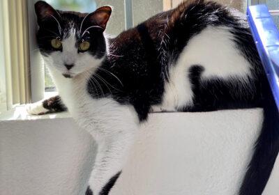Town Cats Adoption & Adoptaversary Updates